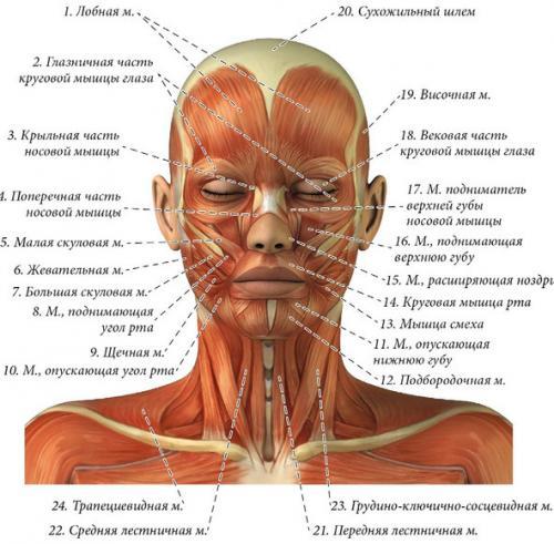 Мышцы лица, их функции, анатомия строения лица